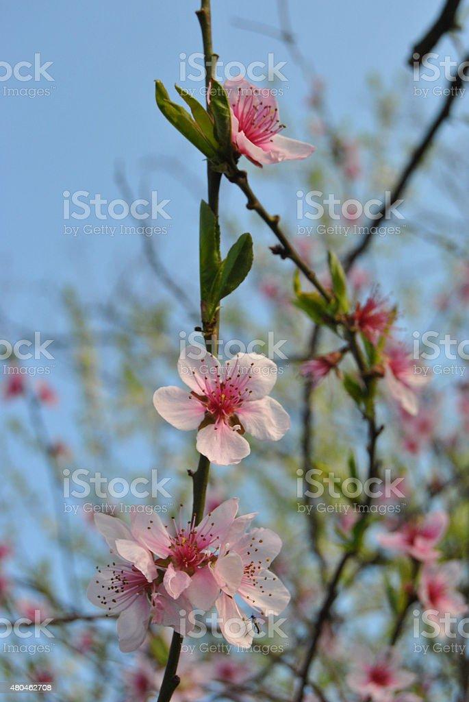fioritura stock photo
