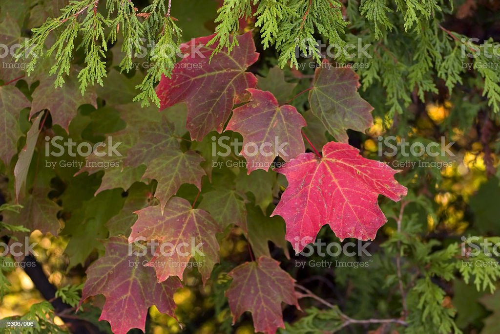 Fir and maple royalty-free stock photo