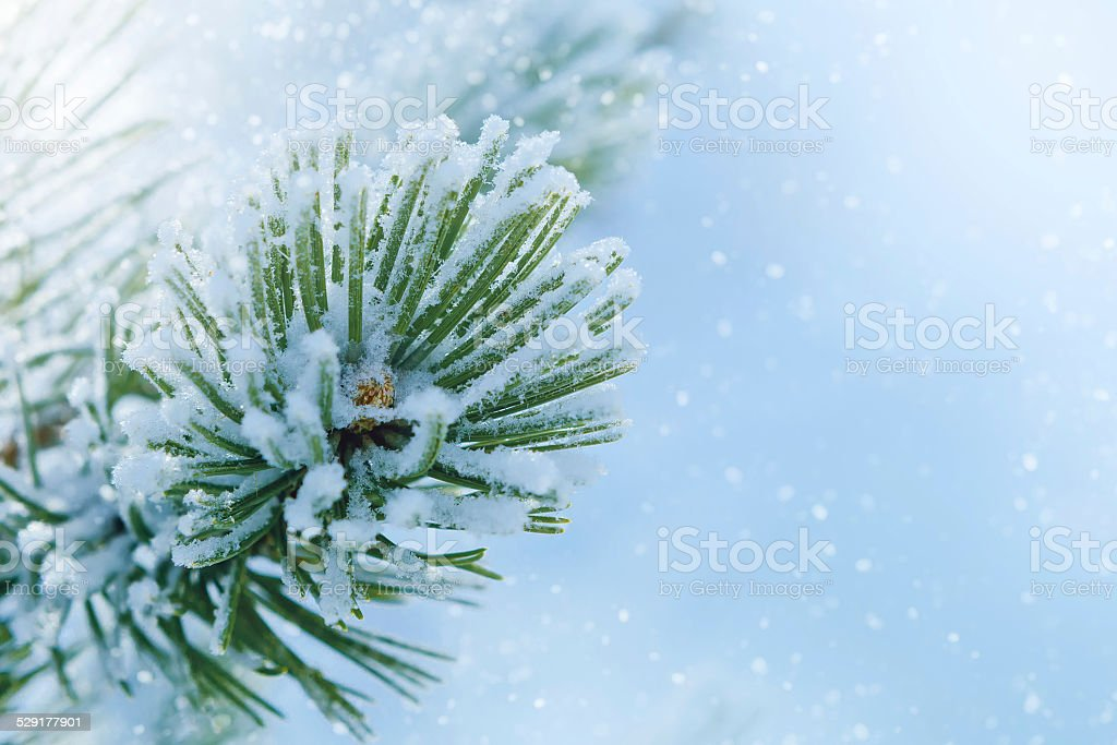 Fir branch covered with frost stock photo