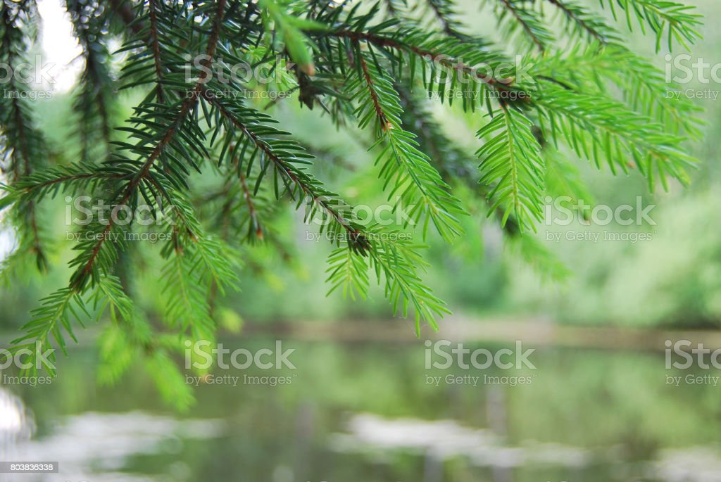 Fir branch in macro on background of pond stock photo