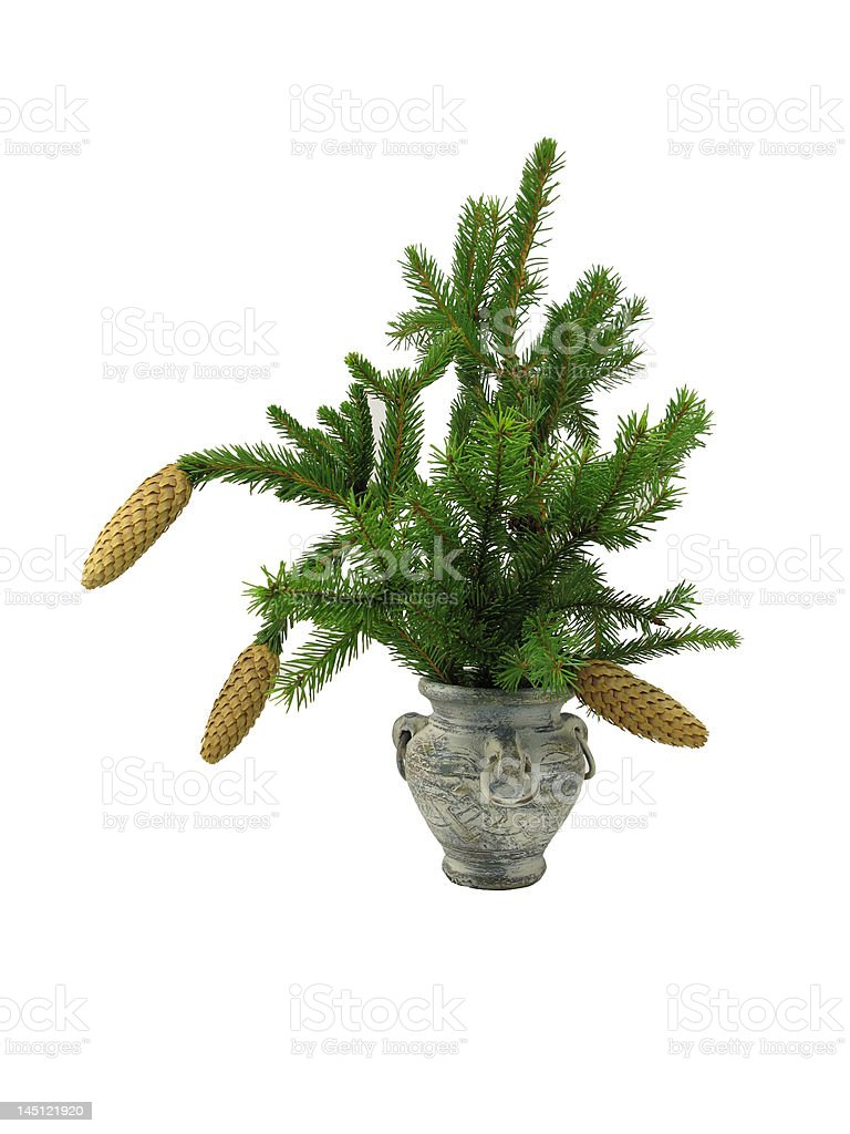 Fir branch in old vase royalty-free stock photo