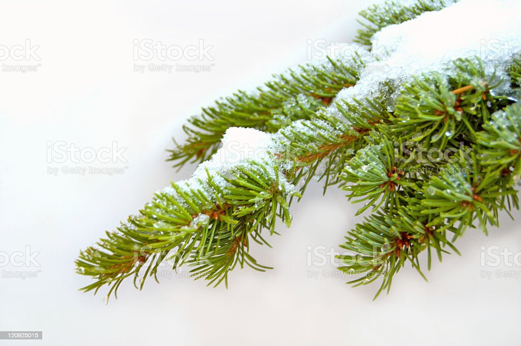 Fir Branch on White royalty-free stock photo