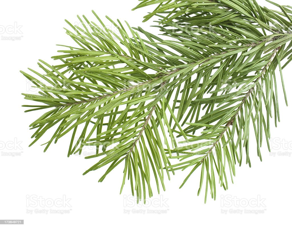 fir branch royalty-free stock photo