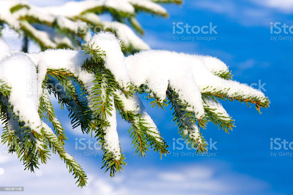 Fir branch under snow royalty-free stock photo