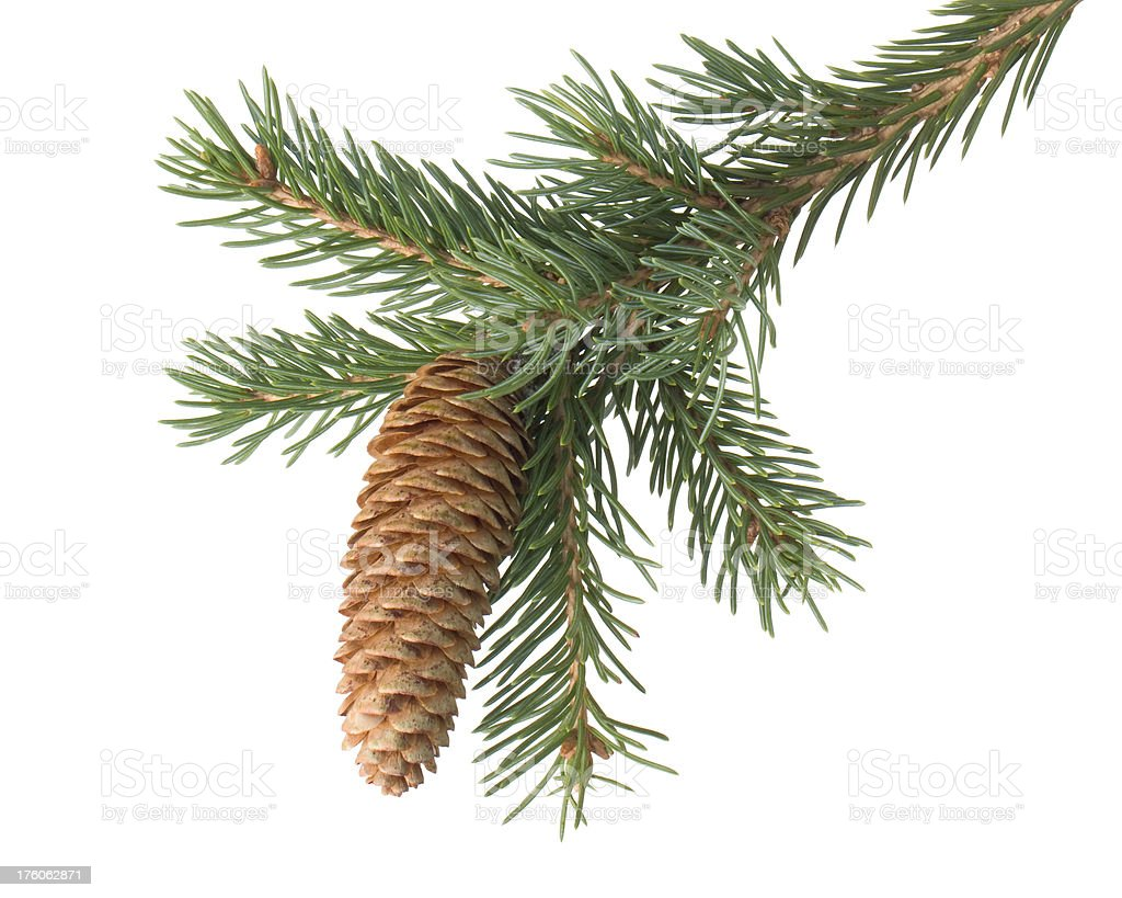 Fir branch with cone royalty-free stock photo