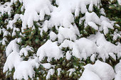 Fir branches covered with fresh snow, falling snowflakes, winter background