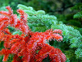 Fir branches green and red close up