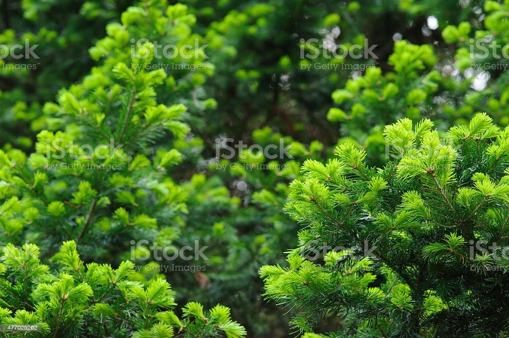 Fir branches stock photo