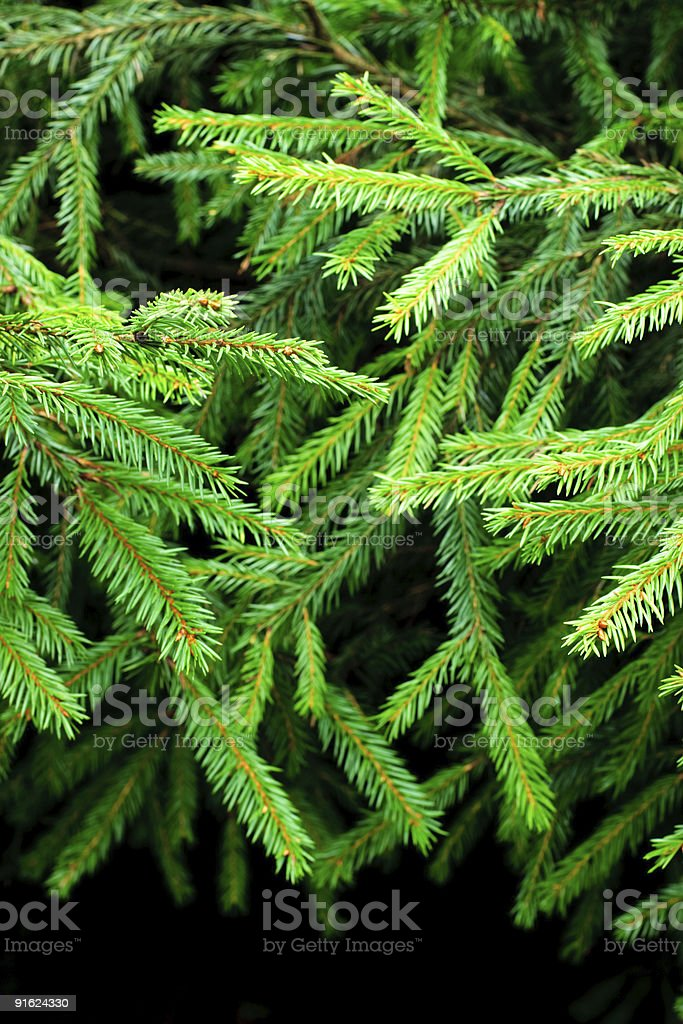 Fir branches royalty-free stock photo