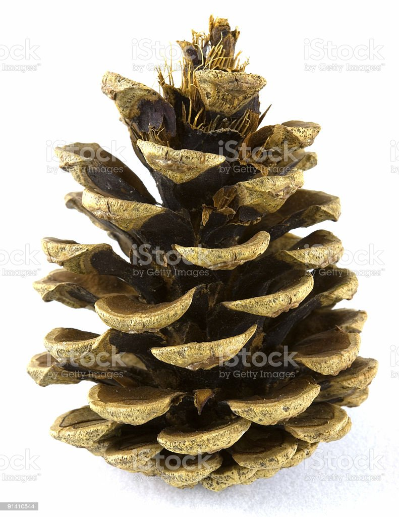 Fir cone royalty-free stock photo