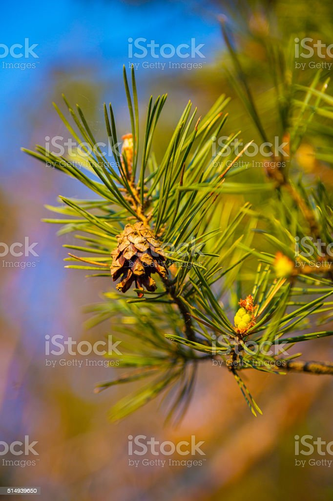 Fir cones on a branch stock photo