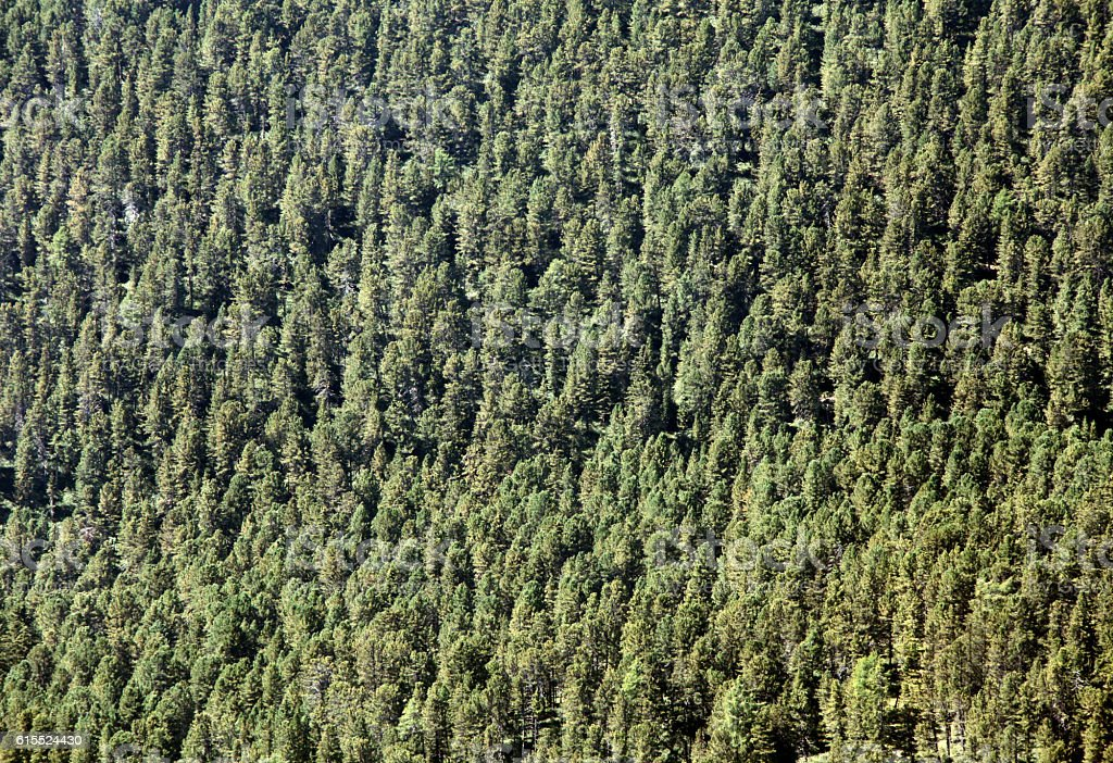 Fir forest in Italian Alps (Dolomiti) stock photo