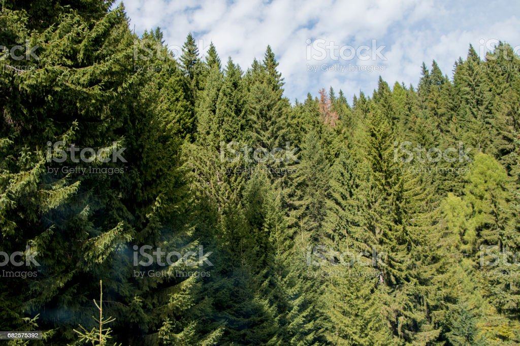 Fir forest in the Carpathian Mountains stock photo
