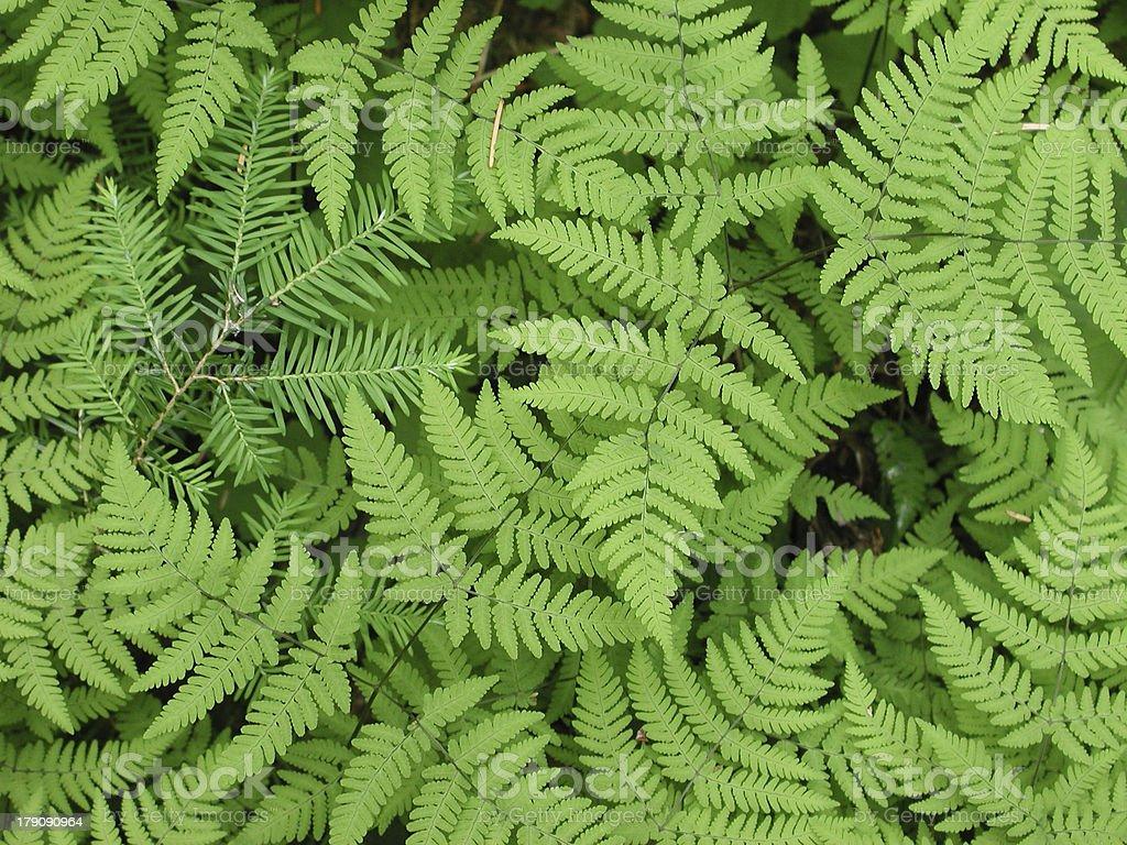 Fir in Ferns stock photo