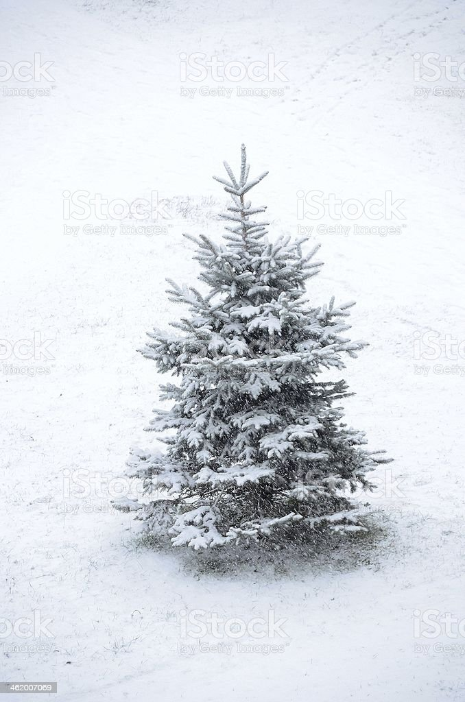 Fir in snow on white background abstract stock photo
