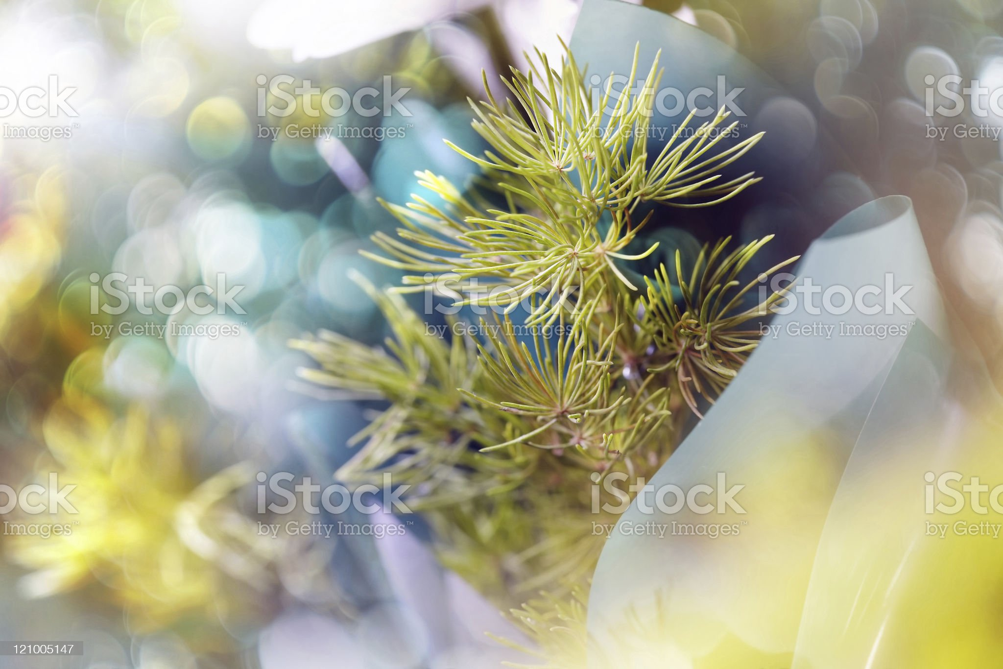 Fir needles royalty-free stock photo