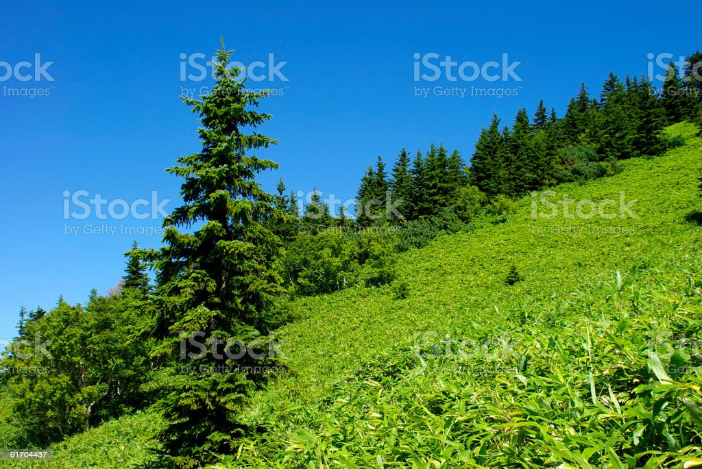 Fir royalty-free stock photo