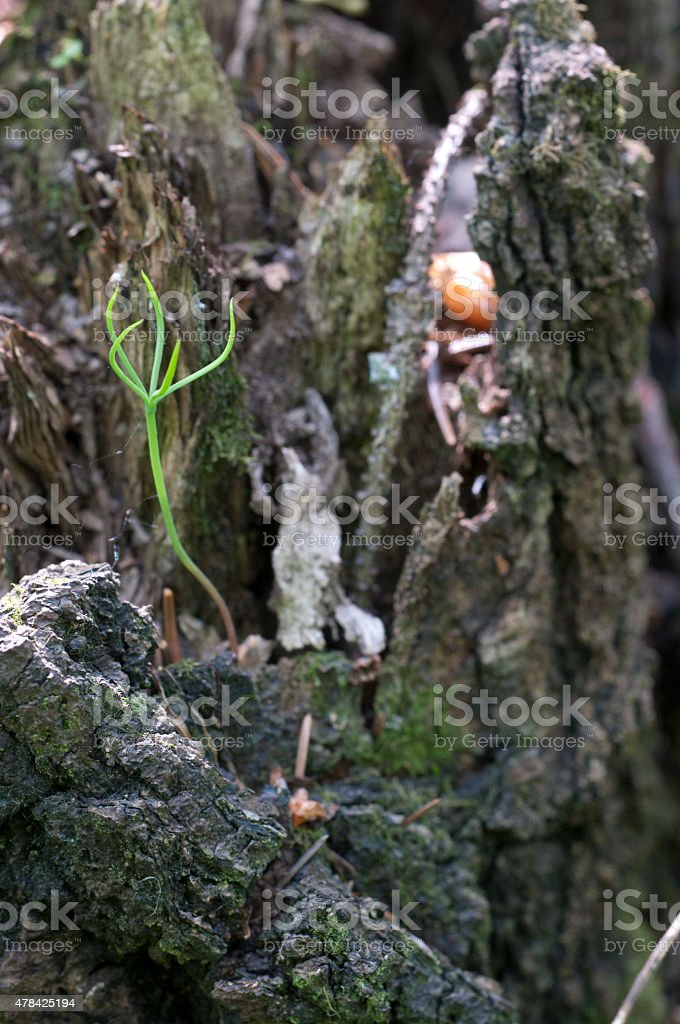 Fir seedling on a stump stock photo