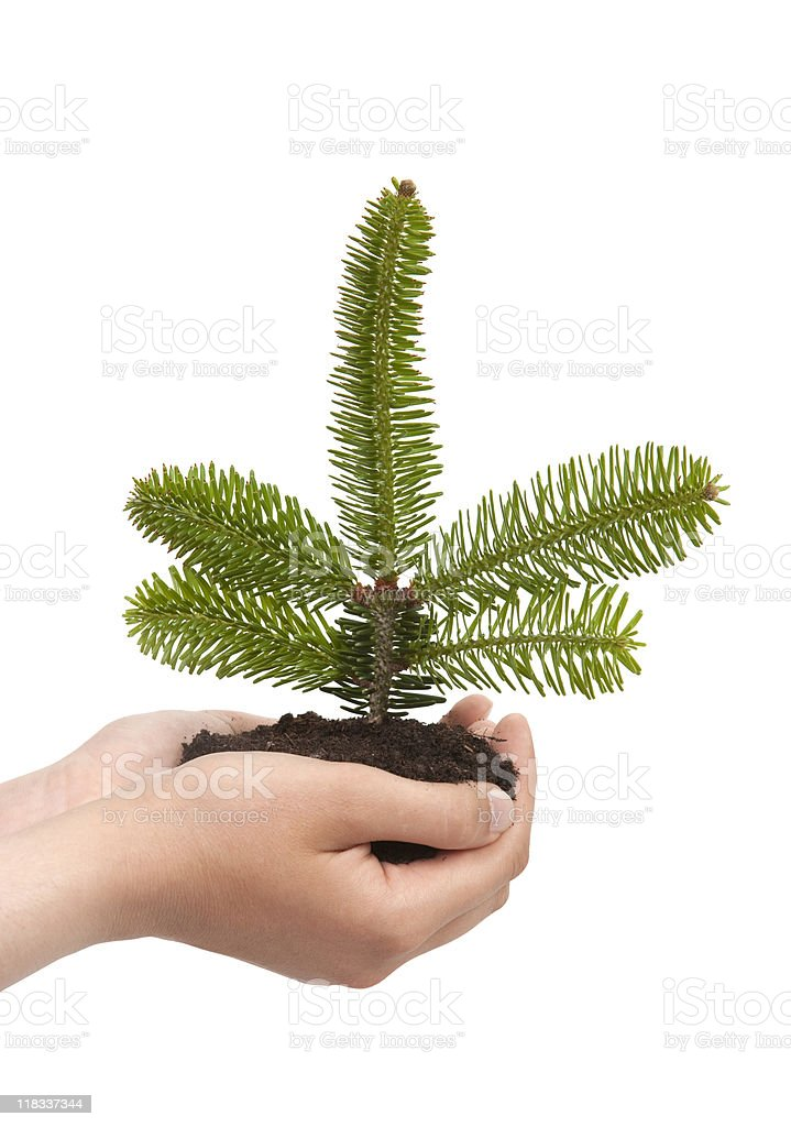 Fir seedling on hands royalty-free stock photo