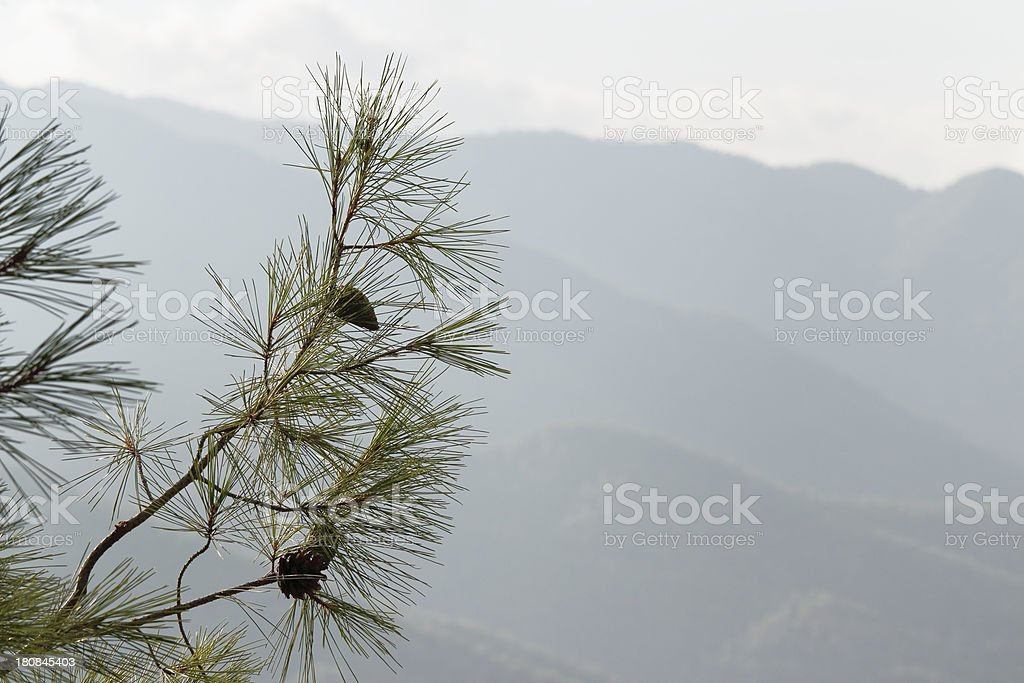 fir tree branch against morning foggy Troodos cypriate mountains  Cyprus stock photo