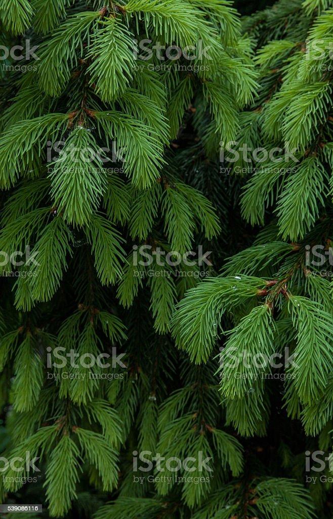 Fir tree branch background stock photo