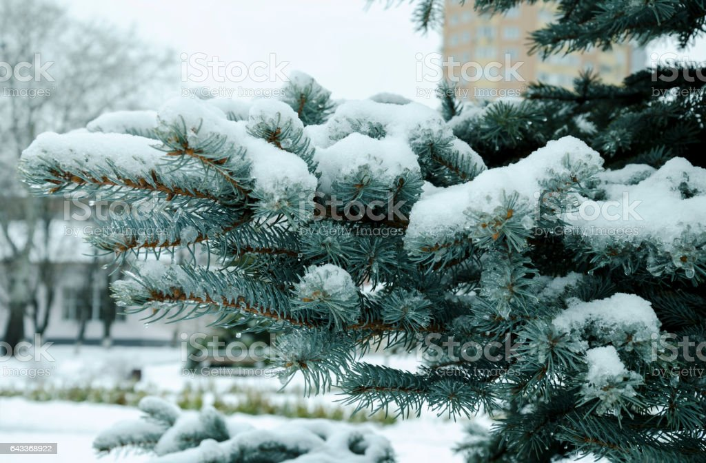 Fir tree branch covered with ice and snow stock photo