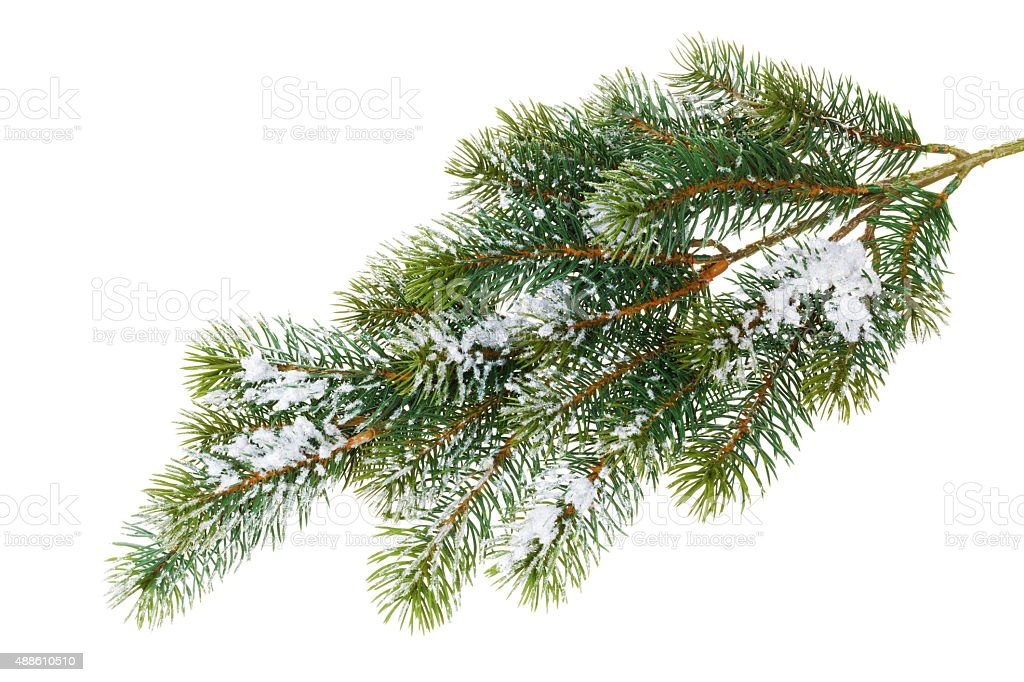 Fir tree branch covered with snow stock photo