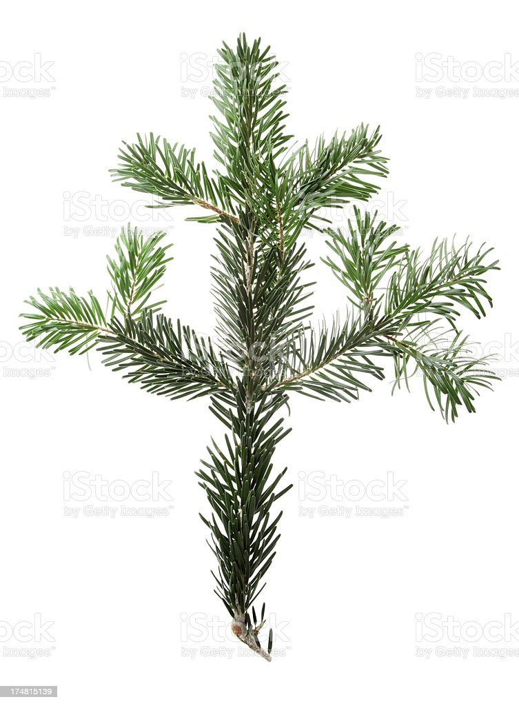 Fir tree branch isolated on white royalty-free stock photo