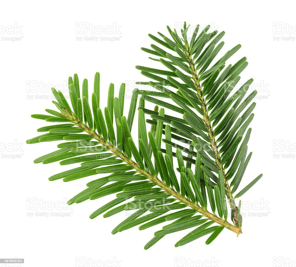 Fir tree branch isolated on white stock photo