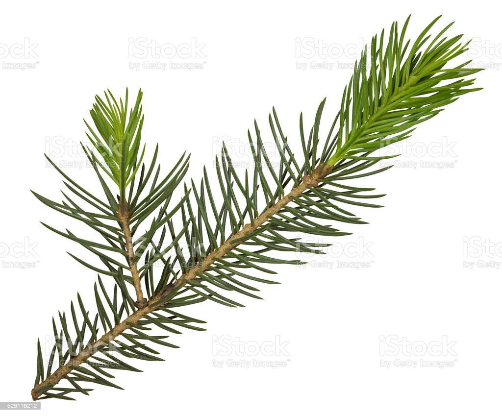 Fir tree branch isolated stock photo