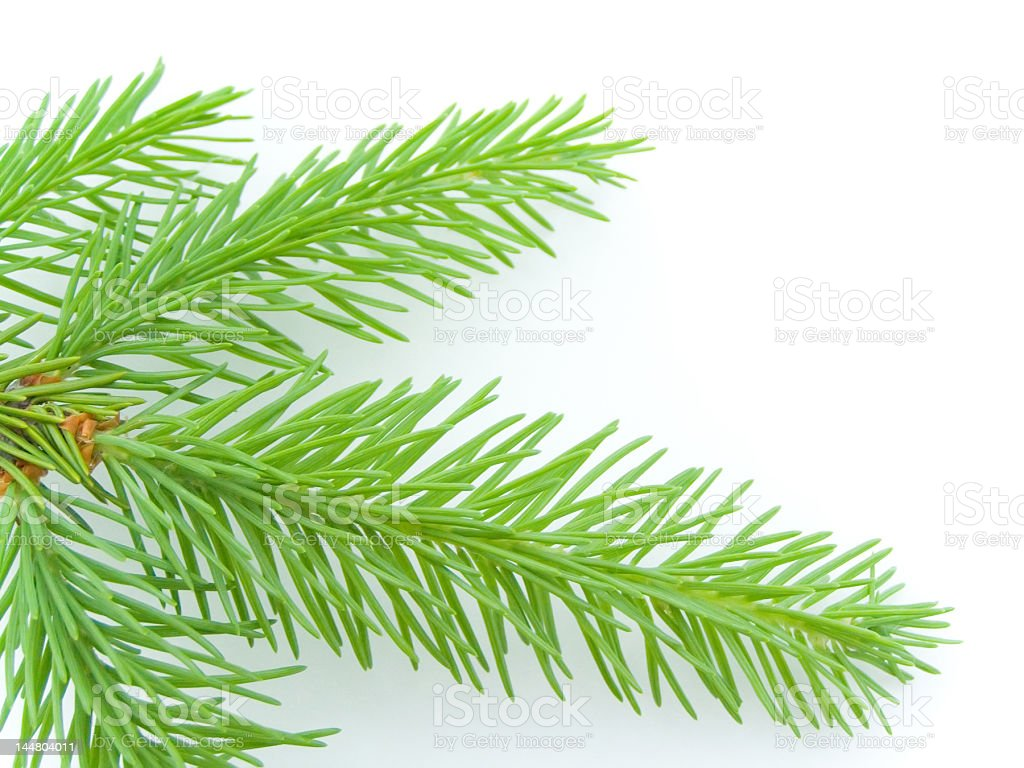 fir tree branch on white royalty-free stock photo