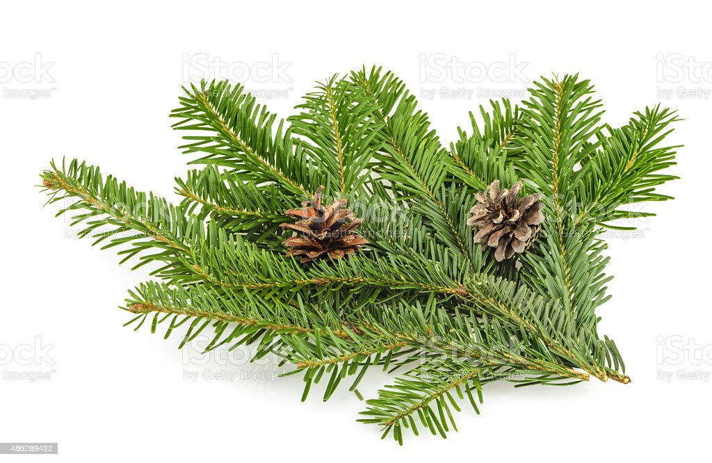 Fir tree branch on white stock photo