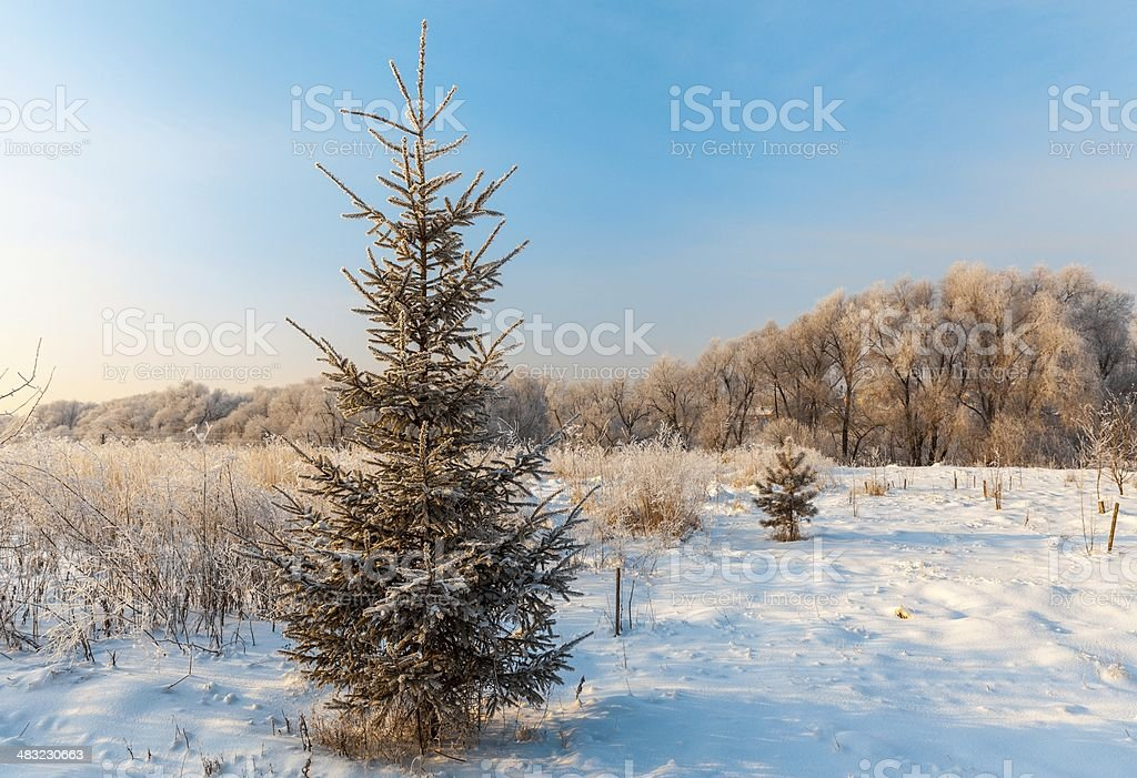 fir tree branch royalty-free stock photo