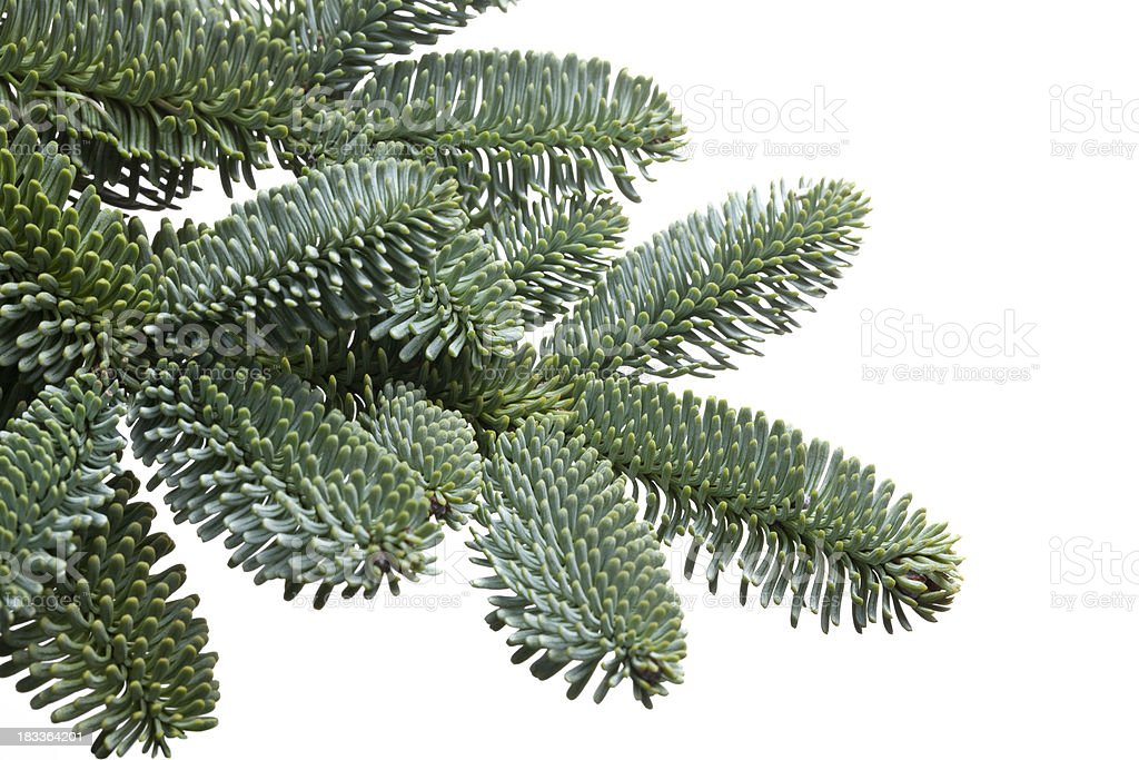Fir tree branch to hang a Christmas ball royalty-free stock photo