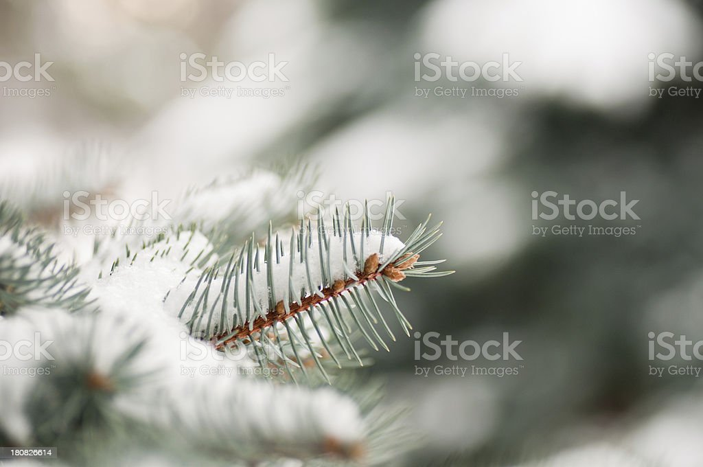 Fir tree branch with white snow royalty-free stock photo