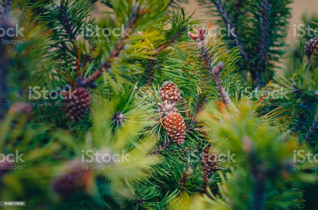 Fir tree branches Background stock photo