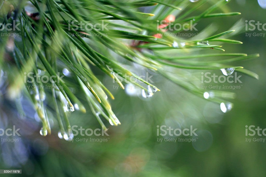 fir tree branches texture stock photo