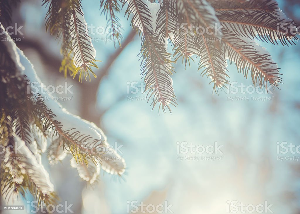 Fir tree covered with snow stock photo