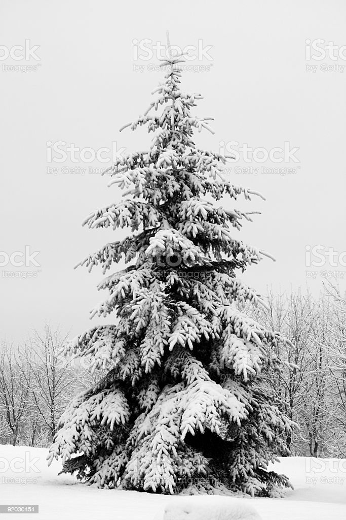 fir tree covered with snow royalty-free stock photo