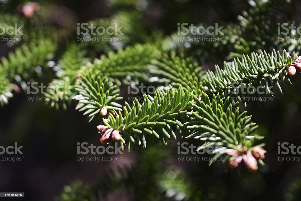 Fir Tree Detail royalty-free stock photo