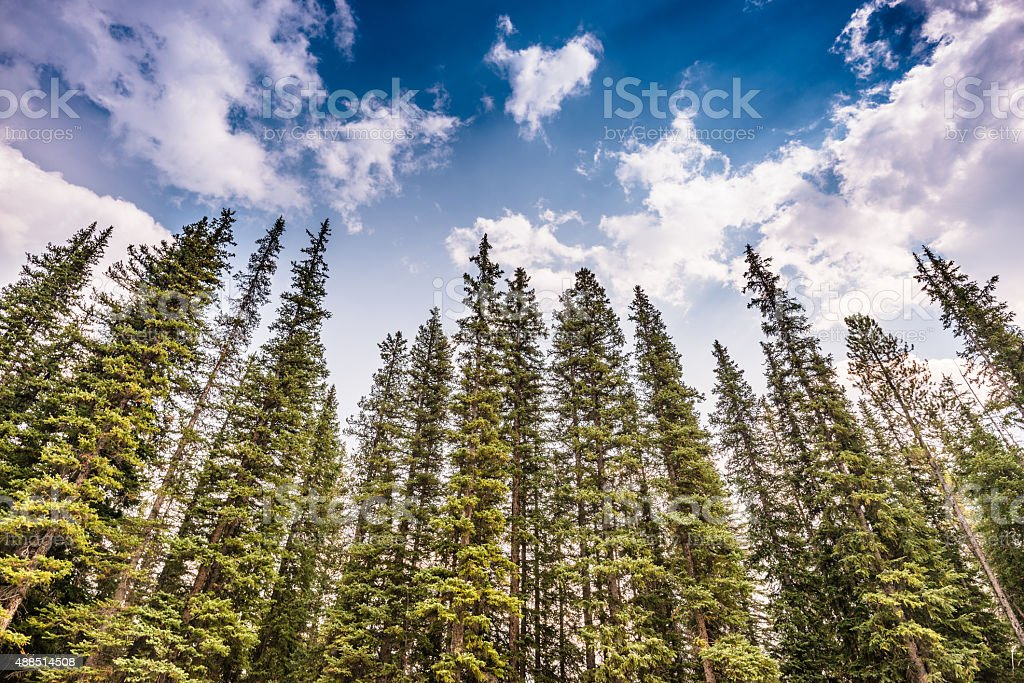fir tree forest in canada stock photo