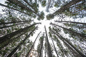 fir tree forest in canada