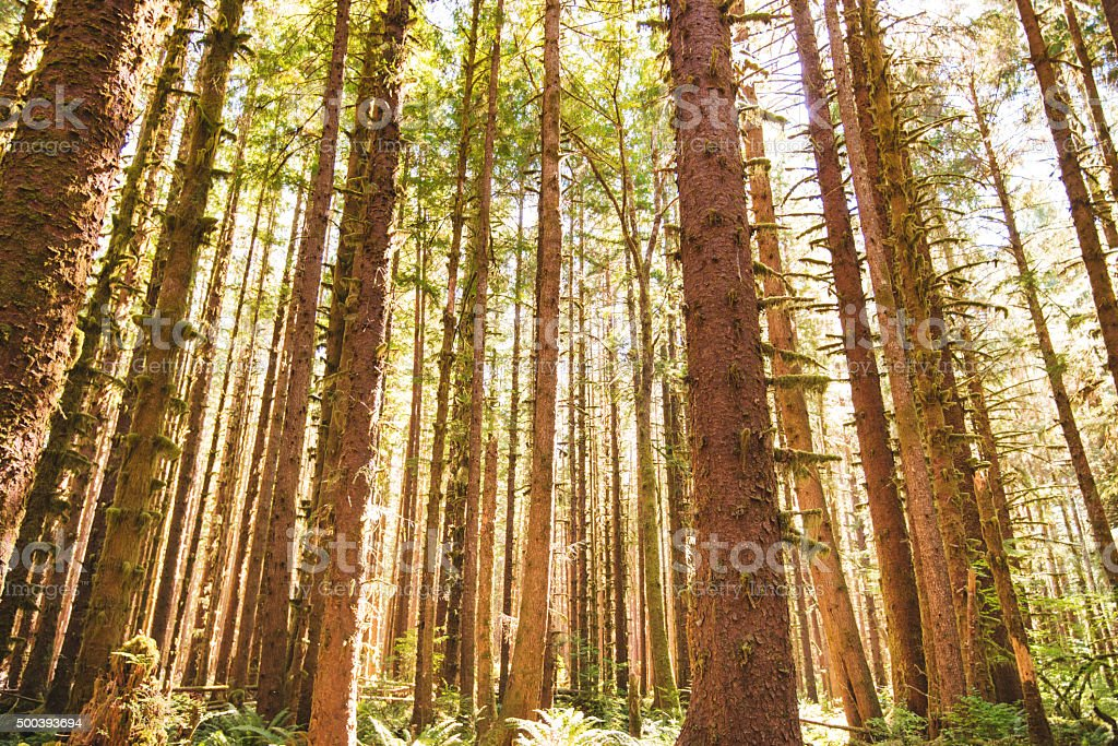 fir tree forest in north america - ecola state park stock photo