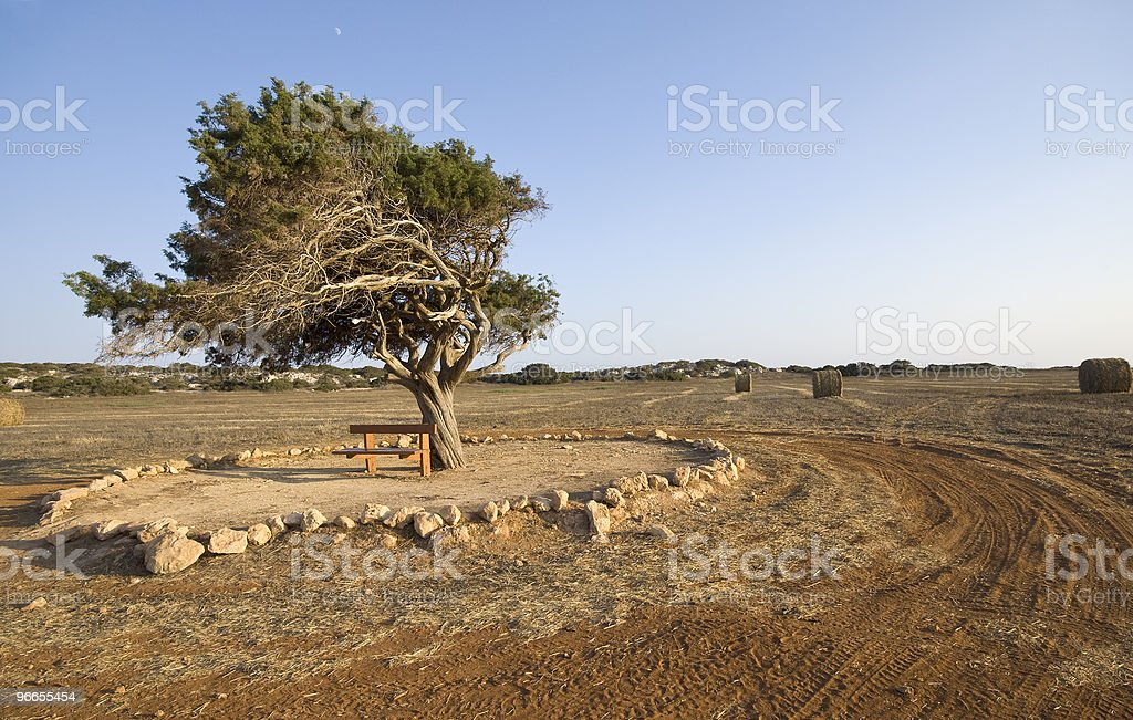 Fir tree on a wheat field late in Summer stock photo