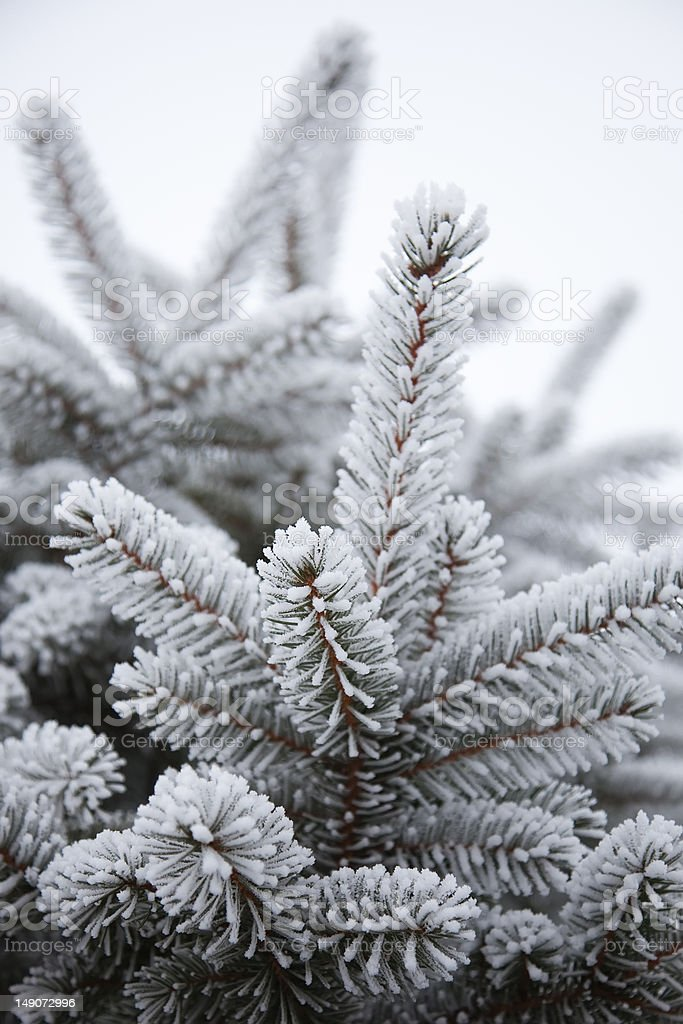 Fir tree royalty-free stock photo