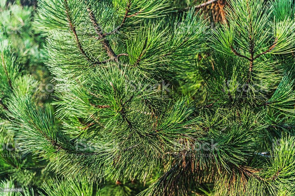 fir tree stock photo