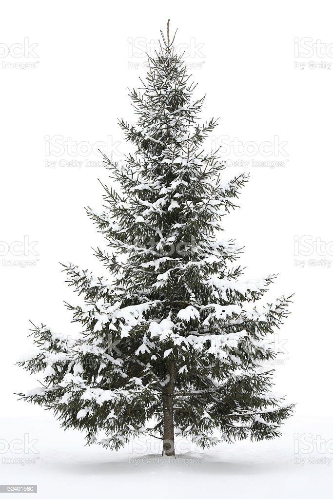 Fir tree royalty-free stock photo
