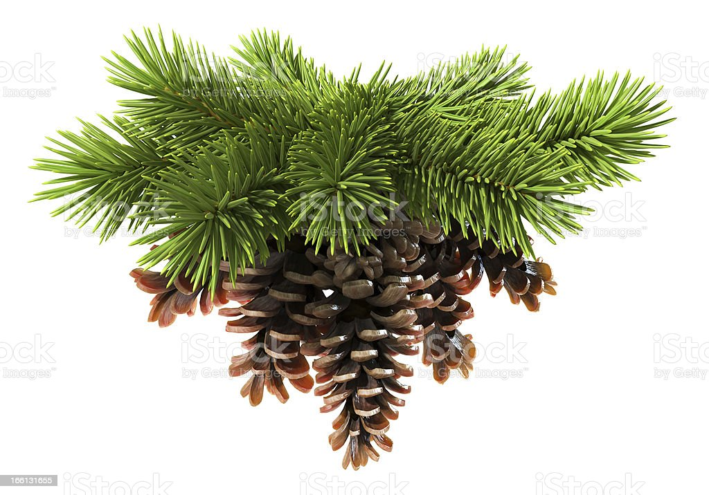 Fir tree with pine-cones stock photo