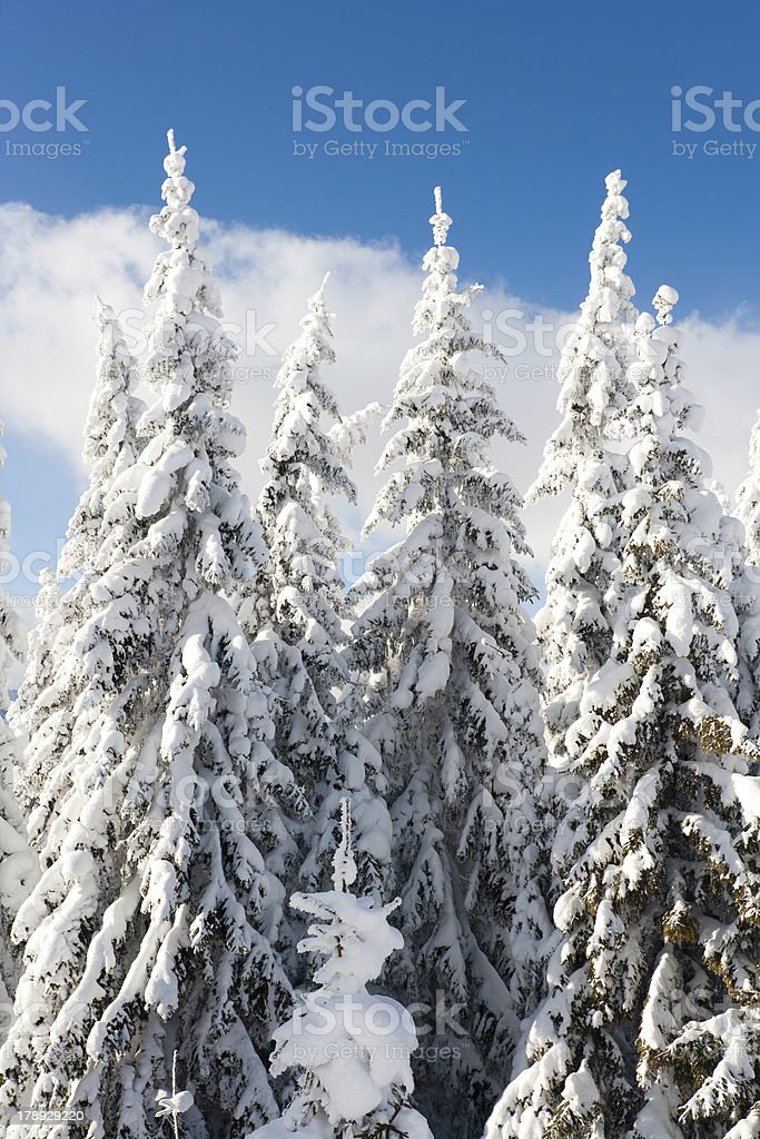 Fir tree with snow royalty-free stock photo