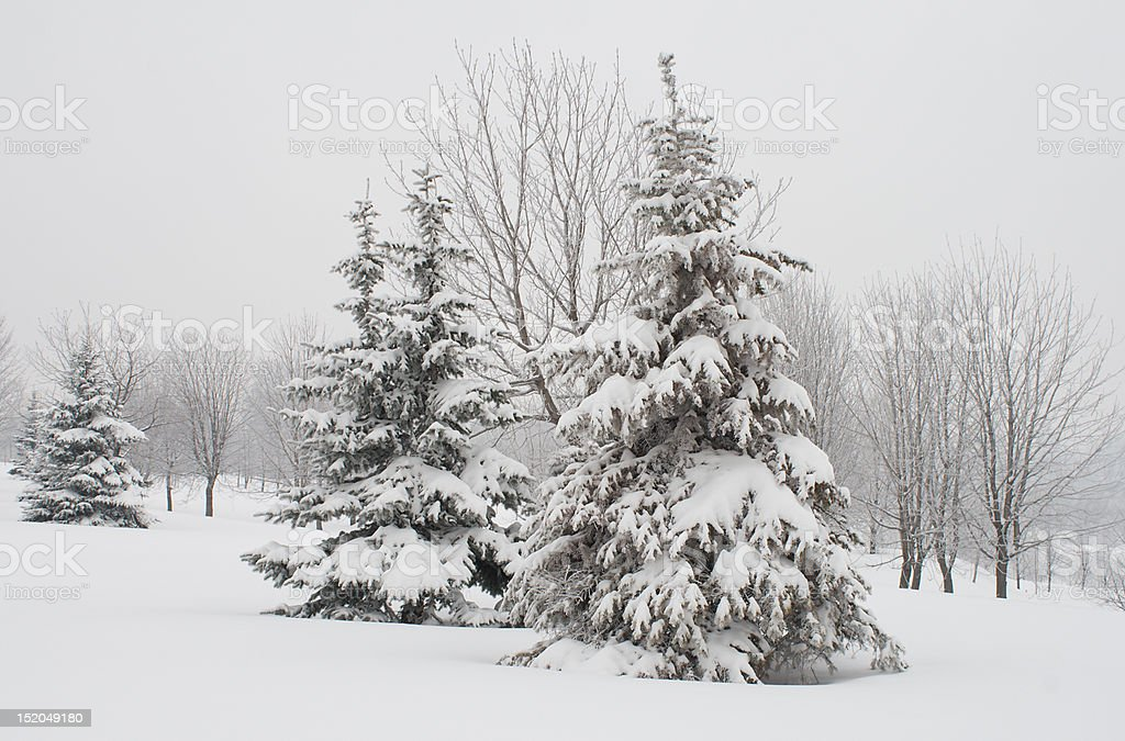 fir trees covered with snow royalty-free stock photo